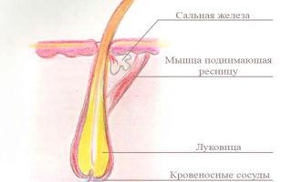 Строение, жизненный цикл и функции ресниц