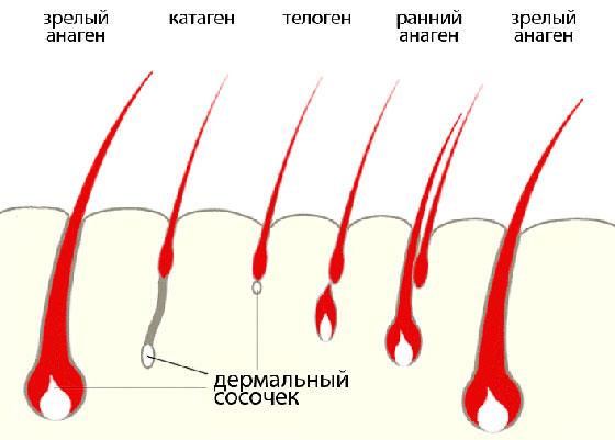 дермальный сосочек ресниц
